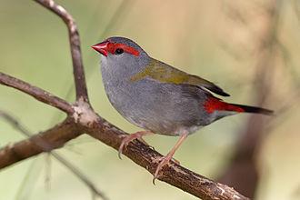 Estrildidae - Red-browed finch, Neochmia temporalis
