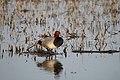 Redhead Duck (32669560980).jpg