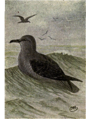 Reed-sooty-shearwater.png