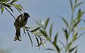 Reed bunting (2) (9172472663).jpg