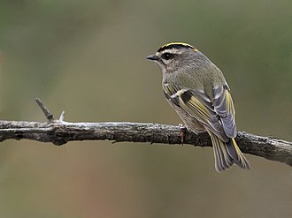Golden-crowned kinglet - In Canada