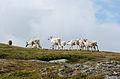 Reindeer Torkilstöten 2012e.jpg