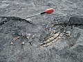 Restes fòssils del Sireni de Santa Brígida d'Amer.jpg