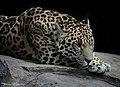 Resting Jaguar (18089504933).jpg