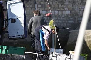 Retour de la pêche à la seiche du fileyeur Jason IV (59).JPG