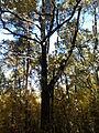 Rezerwat przyrody Dęby w Meszczach 201012 12.00.jpg