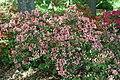 Rhododendron Ben Morrison 3zz.jpg
