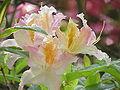 Rhododendron luteum0.jpg