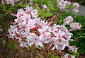 Rhododendron periclymenoides - Jenkins Arboretum - DSC00549.JPG