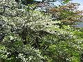 Rhododendron quinquefolium03.JPG