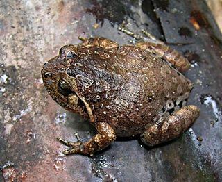 <i>Plethodontohyla alluaudi</i> Species of amphibian