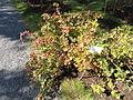 Ribes hirtellum - Botanical Garden in Kaisaniemi, Helsinki - DSC03479.JPG