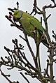 Ring Necked Parakeet (Psittacula krameri) - geograph.org.uk - 1174077.jpg