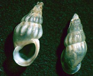 Rissooidea - Two views of a shell of Rissoa membranacea