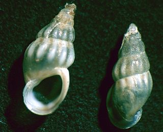 Rissooidea Superfamily of gastropods