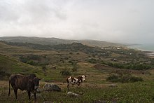 Cattle grazing in a hillside field overlooking Rivière Cocos.