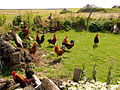 Roosters02.jpg