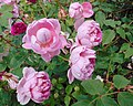 Rosa 'The Ingenious Mr Fairchild'.jpg
