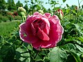Rosa Lady of Megginch 2019-06-04 5938.jpg