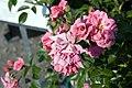 Rosa Palmengarten Frankfurt 0zz.jpg