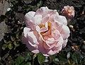 Rosa Rosemary Harkness 2018-07-16 6756.jpg