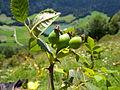 Rosa tomentella fruits2.jpg