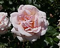 Rosarium Baden Rosa 'Aphrodite' Tantau 2006.jpg