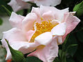 Rose Cupid バラ キューピッド (5842021221).jpg