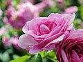 Rose Gertrude Jekyll バラ ガートリュード ジェキル (8082476901).jpg
