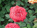 Rose from lalbagh year 2012 - 1659.JPG