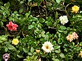 Rose tree with roses in Bangladesh 2.jpg