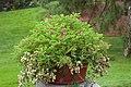 Rosemarinus officinalis.jpg