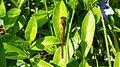 Rote Libelle am vorderen Feuerlöschteich im Solling (Deensen-Schorborn) 3.jpg