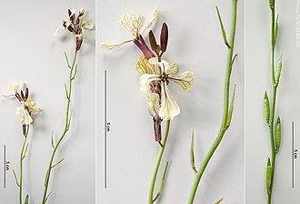 Eruca sativa - Image: Rucola(Eruca vesicaria),infloresc ence,young fruits NL jun 2012