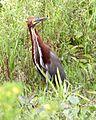 Rufescent Tiger-Heron (Tigrisoma lineatum).jpg