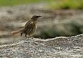 Rufous-breasted Accentor (Prunella strophiata) (24153868116).jpg