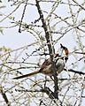 Rufous-eared Warbler (Malcorus pectoralis) (32648090190).jpg