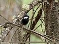 Rufous-naped Tit (Periparus rufonuchalis) (30021328168).jpg
