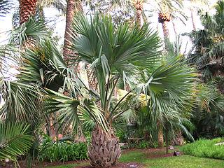 <i>Sabal maritima</i> species of plant