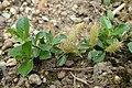 Salix cashmiriana kz04.jpg