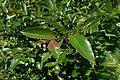Salix myrsinifolia kz04.jpg