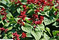 Salvia splendens Vista Burgundy 2zz.jpg