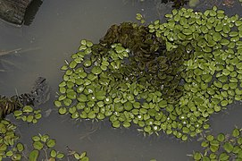 Salvinia auriculata 0755.jpg