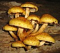 Same shrooms different day (1504474097).jpg