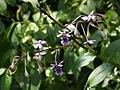 San Jose Orchid Epidendrum pseudoschumannianum - Flickr - gailhampshire (1).jpg