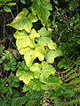 San bruno mountain ivy.JPG