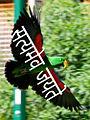 Sanskrit sentence on a parrot.jpg