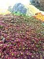 Saxifraga-hypnoides.jpg