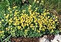 Saxifraga aizoides (Pyrenees) 1.jpg