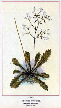 Saxifrage michauxii chromolithograph